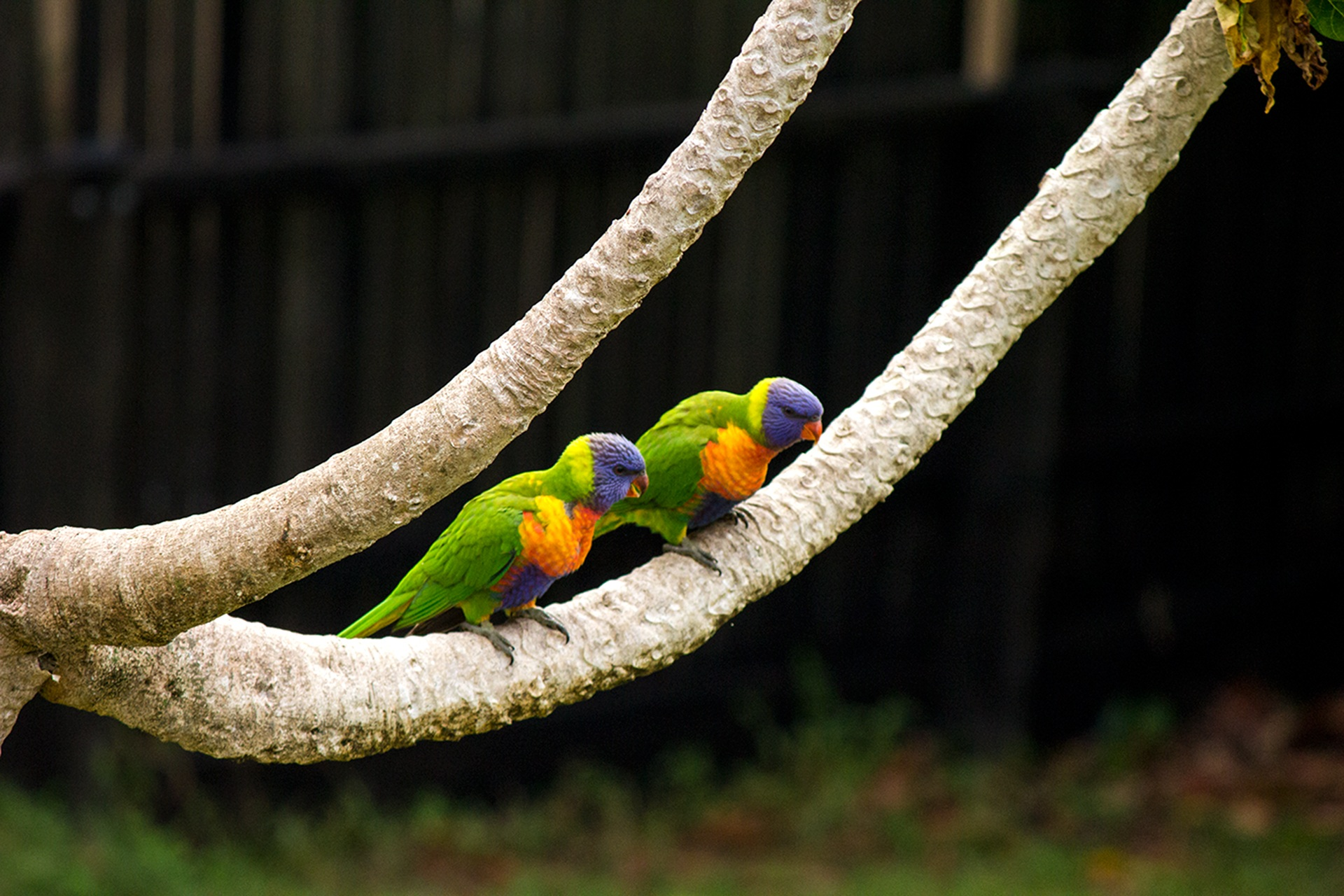 How to Tame a Lovebird